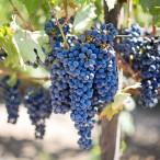 grapes sur vignes
